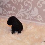 ALTERA ROSA Montecarbone - 1 month old